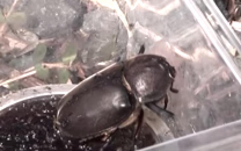 Headless Japanese rhinoceros beetle found in Fukushima – Photo, Video