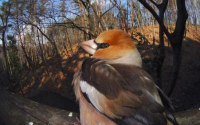 Stronger negative relationship of wild bird abundance and radiation level seen in Fukushima than Chernobyl