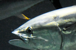Over 80% of Tuna died since December in a major Tokyo aquarium