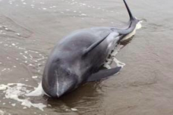 "Most of the inspected dolphins had lungs in ischaemia state as ""entirely white"""