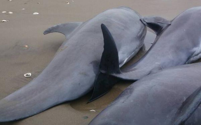 [Photo] 160 dolphins went aground in Ibaraki / Same as 1 week before 311