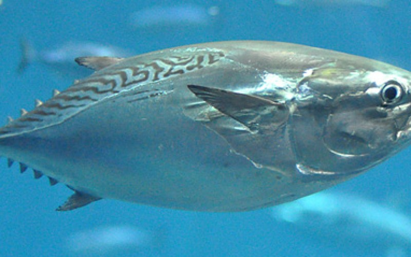 40 percent of mackerel tuna died in 1 week in a Tokyo aquarium, where 99 percent of tuna died earlier this year