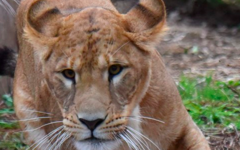 2 years old lion died from thyroid tumor in Nagoya / The twin lion also has a thyroid tumor