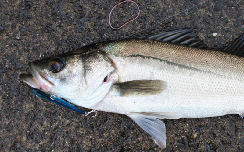 Cs-134/137 detected from 6 of 6 sea bass samples taken Ibaraki offshore
