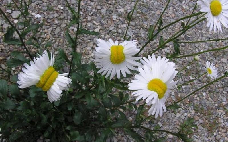 "[Photo] Deformed ""Shasta daisy"" in Nasushiobara City / 0.5 μSv/h at 1m above the ground"
