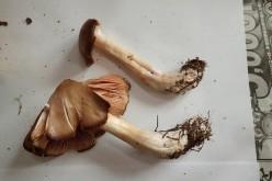 Still over 22,657 Bq/Kg of Cs-134/137 detected from mushroom in Iwaki city