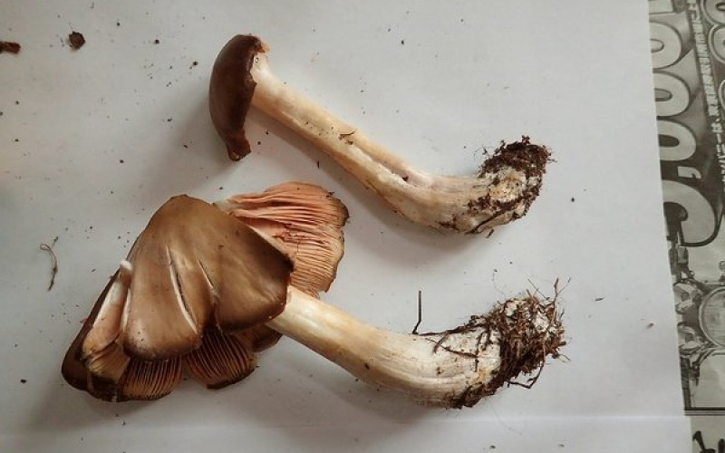 Still over 22,657 Bq/Kg of Cs-134/137 detected from mushroom in Iwaki city